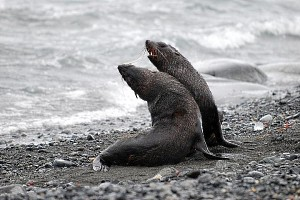 Play-fighting Fur Seals