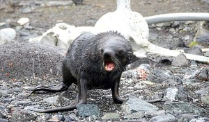 One Mad Fur Seal