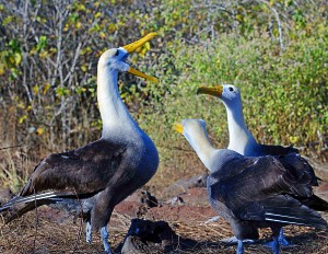 Waved Albatross Mating Ritual