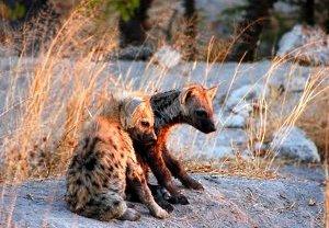 Hyena Pups