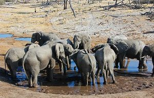 Elephants fighting for water