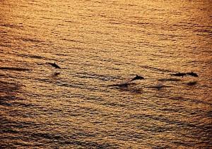 Dolphins race the Paul Gauguin