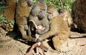 Huddling Baboons