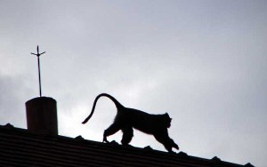 Blue Monkey on the Roof