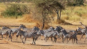 Skittish Herd of Zebras