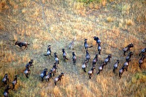 Herd of Wildebeest in Great Migration