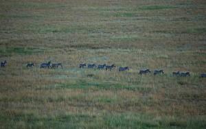 Zebras in Line