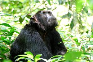 Pondering Chimpanzee