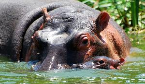 Mother and Baby Hippos