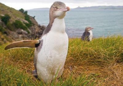 Enderby Island, New Zealand
