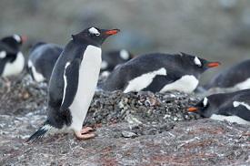 Pleneau Island (Port Charcot), Antártida