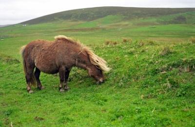 Noss, Shetland Islands, Scotland