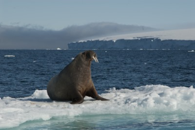 Cape Waring, Wrangell Island, Russia